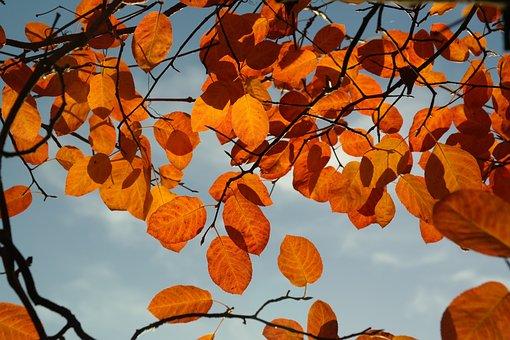 Amelanchier, Leaves, Autumn, Orange, Red, Blood Red