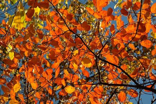 Leaves, Autumn, Amelanchier, Orange, Red, Blood Red