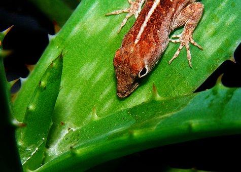 Brown Anole, Anolis Sagrei, Lizard, Aloe Plant, Brown