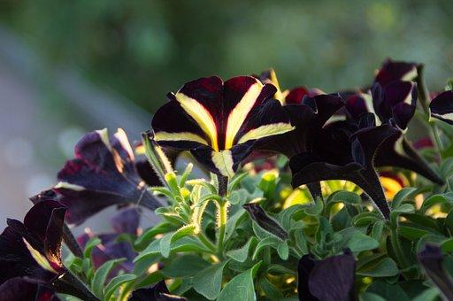 Petunia, Petunia Phantom, Nachtschattengewächs, Black
