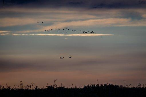 Birds, Cranes, Nature, Fly, Migratory Birds, Wing