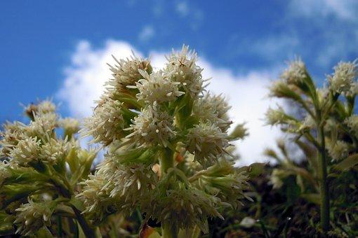 Butterbur, Flower, Flowers, Nature, Plant, Spring, Sky