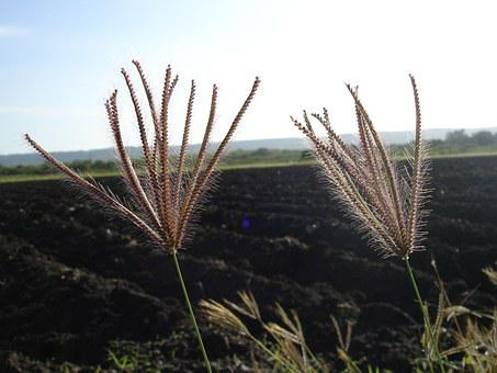 Spikes, Grass, Path, Soil, Fields, Nature, Green, Plant