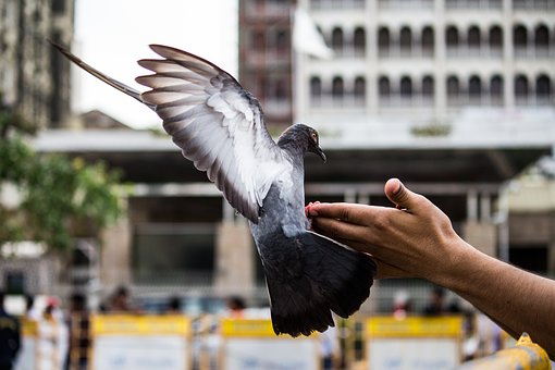 Pigeon, Bird, Flying, Pet