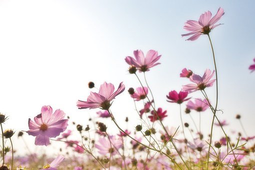 Flowers, Field, Petals, Pink, Plants, Korea, Nature