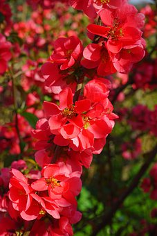 Japanese Ornamental Quince, Flowers, Red, Red Orange