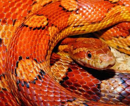 Snake, Corn Snake, Reptile, Scale, Terraristik