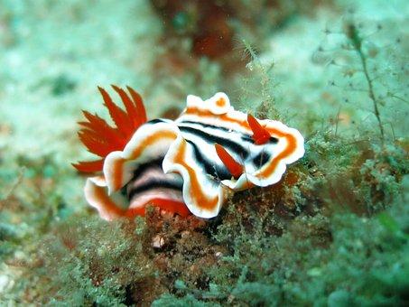 Nudibranch, Chromodoris, Slug, Sea Slug, Diving