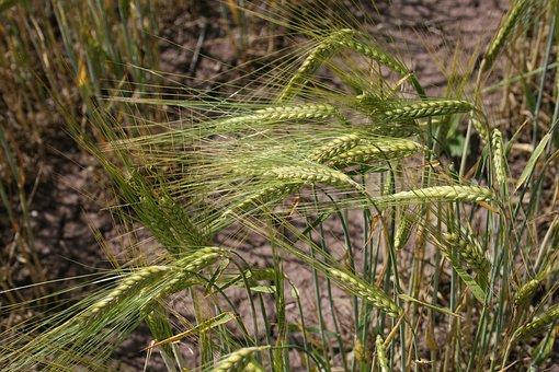 Harvest, Wheat, Cereals, Field, Grain, Summer