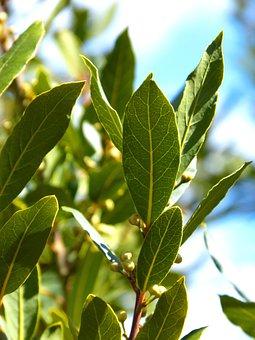 Laurel, Leaves, Tree, Spices