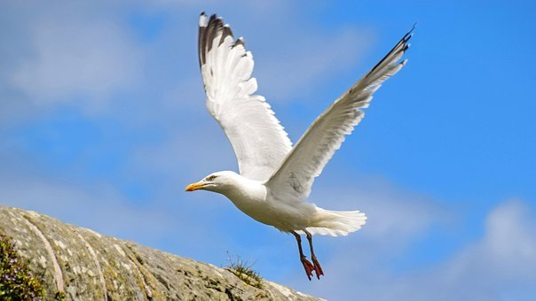 Scotland, St Andrews, Seagull, Fly, Sky, Clouds, Wall
