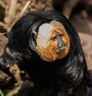 Monkey, Weisskopfsaki, Monkey Portrait, Tiergarten