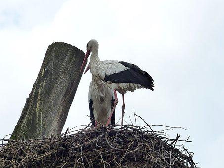 Bird, Nature, Storks, Animals, Rattle Stork, Birds