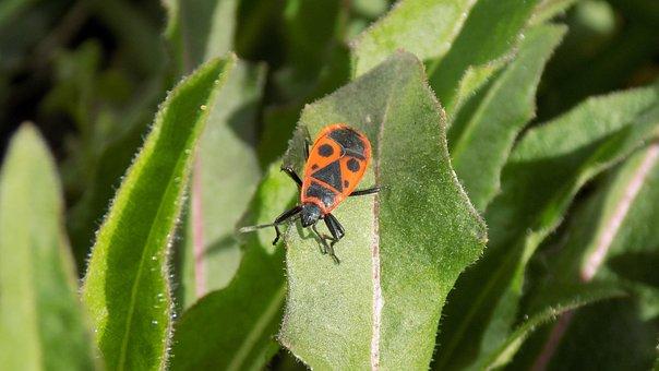Pyrrhocoris Apterus, Beetle, Bug-soldier, Leaflet