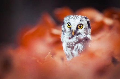 Owlet, Bird, Bokeh, Nature, Orange, Branch, Autumn, Red