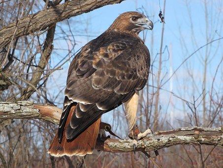 Hawk, Falconry, Bird, Wildlife, Hunter, Raptor, Feather