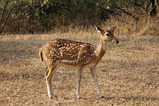 Spotted Deer, Chital, Doe, Female, Axis Axis, Deer