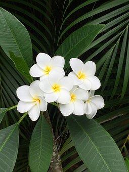 Plumeria, Hawaii, Flower, Blooming, Tropical, Floral