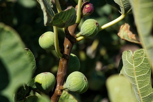 Fig, Eating, Fruit, Food, Sweets, Healthy Food, Nature