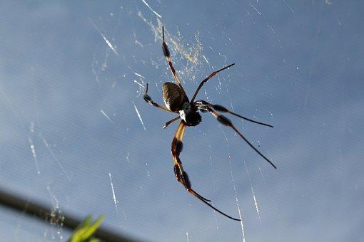 Spider, Insect, Arachnid, Animal, Web, Nature, Garden