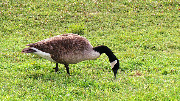 Geese, Migratory Birds, Birds, Feed Search