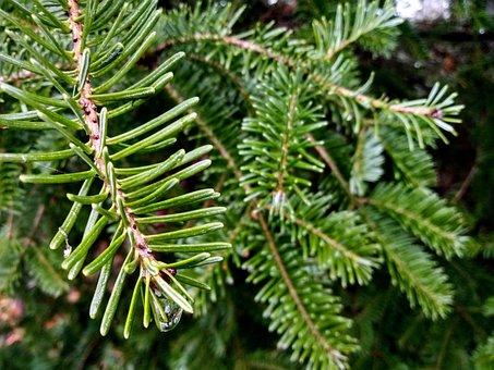 Water Drop, Fir, Tree, Nature, Spruce, Branch, Green