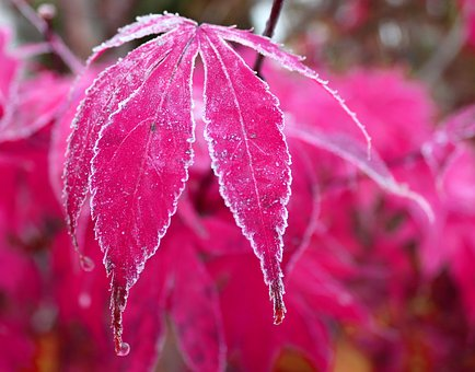 Maple, Leaf, Frost, Frozen, Red, Autumn, Maple Leaf