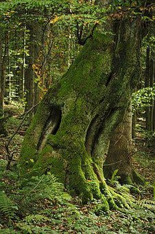 Tree, Forest, Moss, Mossy, Old Age, The Age Of The, Age