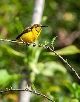 Bird, Olive-backed Sunbird, Tropical Birds