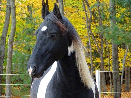 Horse, Friesian, Pain Horse