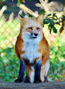 Fuchs, Red Fox, Predator, Reddish Fur, Fur, Wild Animal