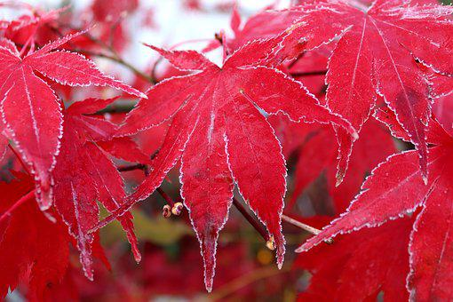 Maple, Leaf, Frost, Red, Frozen, Autumn, Maple Leaf