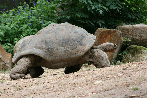Turtle, Slow, Tortoise, She, Shell, Armor, Wildlife