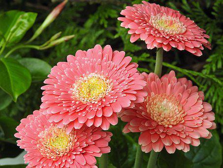 Dahlia, Pink, Pink Flowers, Flowers, Spring, Bicolor