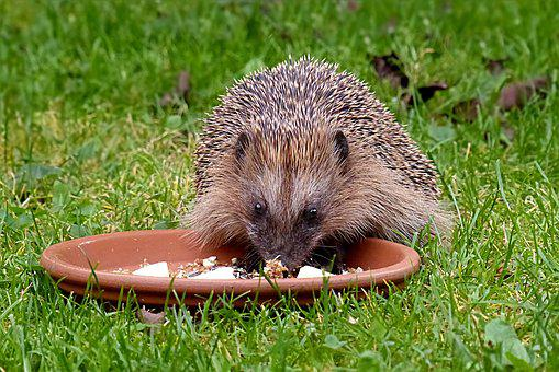 Animal, Hedgehog, Mammal, Rodent, Erinaceus, Spur, Food