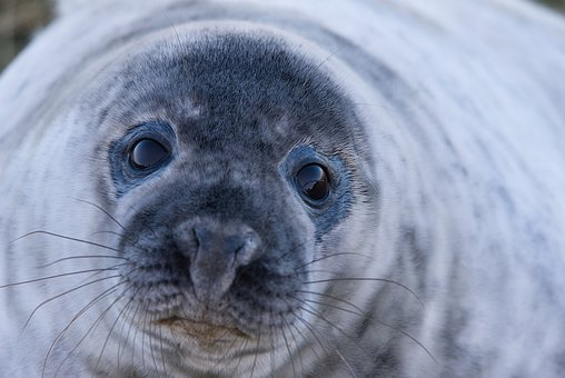 Seal, Grey Seal, Wild, Wildlife, Nature, Close Up