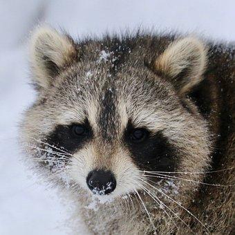 Raccoon, Wildlife, Fur, Animal, Wild, Mammal, Nature