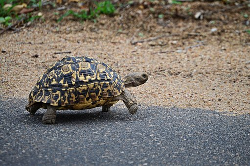 Leopard Tortoise, Nature, Wildlife, Animals, Fauna