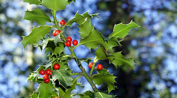 Holly, Berries, Red, Fruit, Plant Wildlife, Christmas