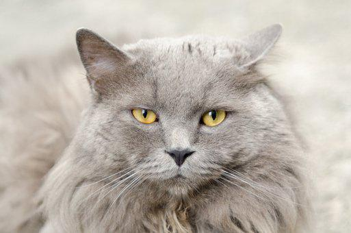 Cat, Gray, Animal, Cute, Pet, Grey, Kitten, Domestic