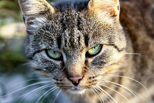 Cat, Tabby, Cat Eye, Domestic Cat, Cat Head