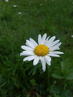 Flower, Daisy, Bloom, Summer, Closeup, Yellow Center