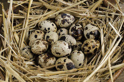 Quail, Egg, Healthy, Organic, Bird, Natural, Chicken