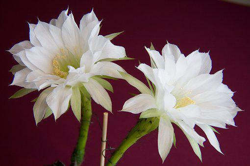 Cactus, White, Flower, Closeup, Amazing, Nature, Green