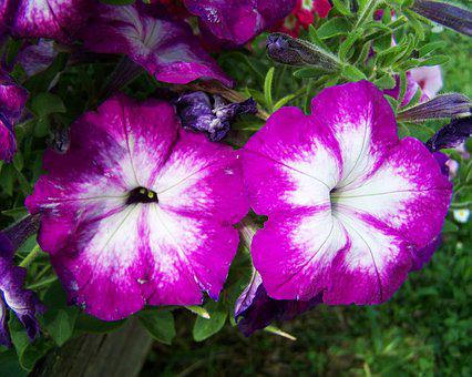 Petunia, Purple And White, Flower Garden