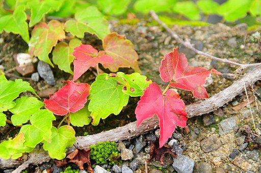Leaf, Autumn, Ivy