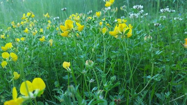 Meadow, Summer, Flowers, Misty, Yellow, Green, Macro
