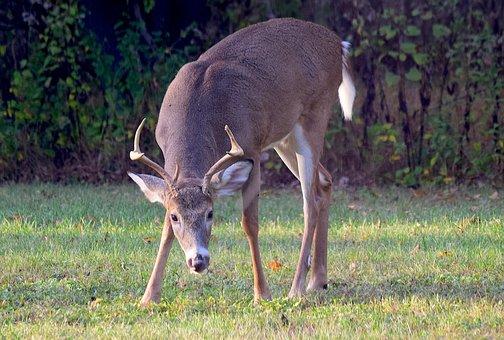 Deer, Buck, Antlers, Animal, Wildlife, Mammal, Nature