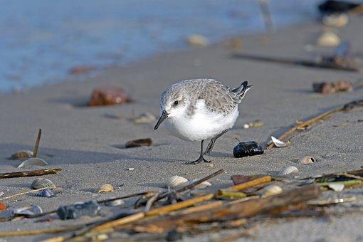 Sanderling, Sandpiper, Sea, Calidris Alba, North Sea