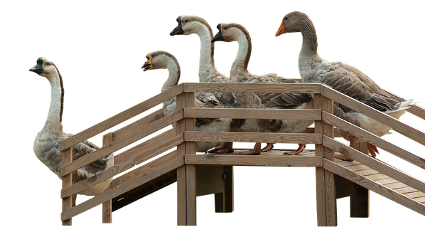 Geese, Goose Stairs, Stairs, Wood, Poultry, Animals